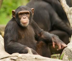 Chimpanzee_13968481823-2